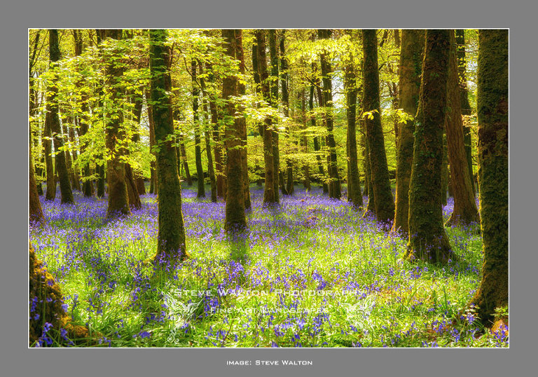Bluebells in the Outwoods, Leicestershire
