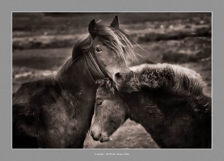 Horses on Dartmoor. Mother & Son