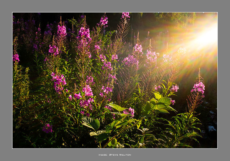 Rosebay Willowherb in The Outwoods, Leicestershire