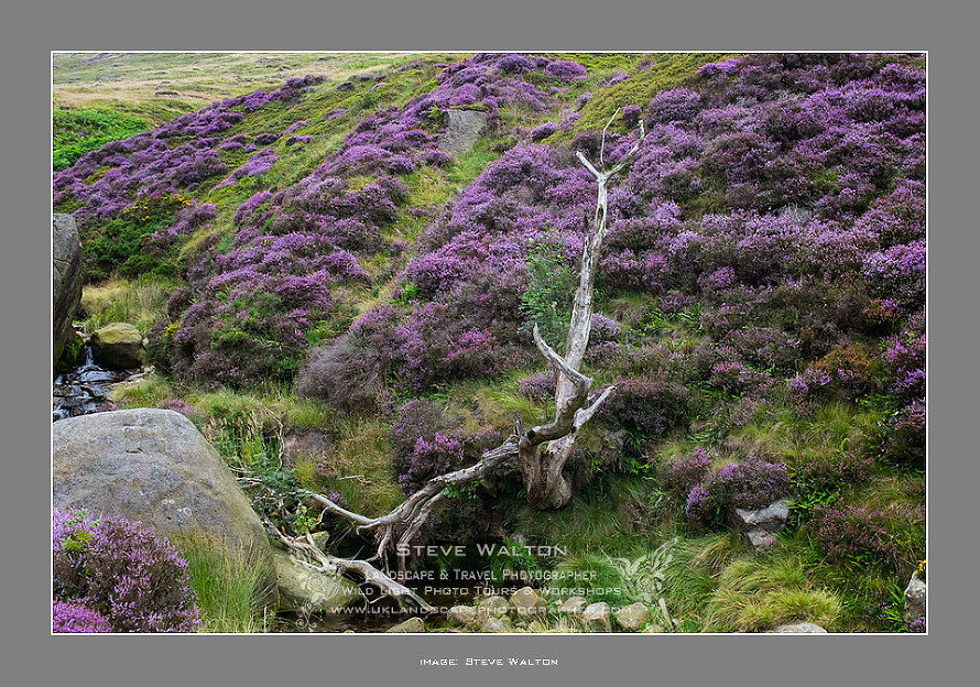 Rowan and heather, Crowden Clough