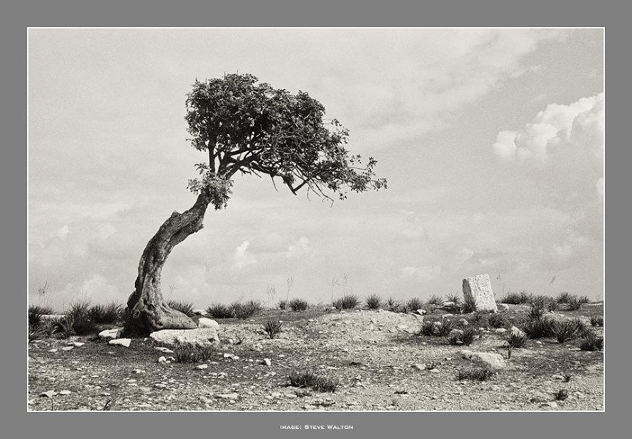 Cyprus Olive Trees