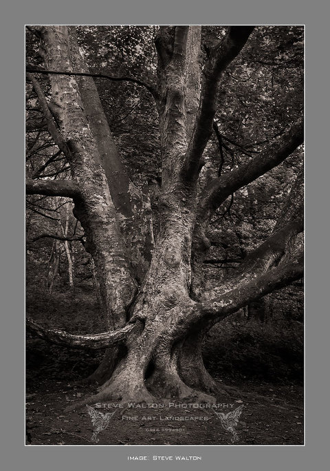 Mature beech in the Outwoods near Loughborough in Leicestershire
