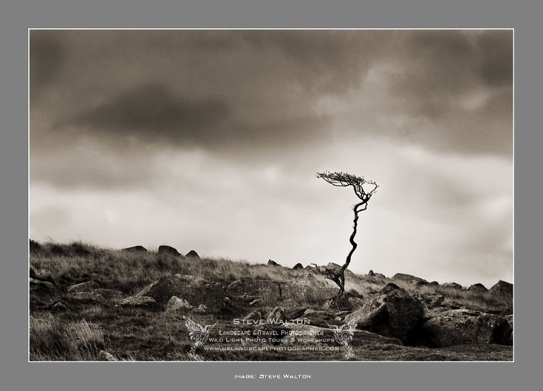 Dartmoor hawthorn tree